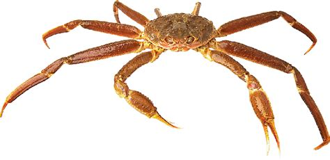 crab digestion picture 13