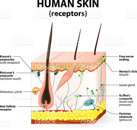 free illustrations of human skin images picture 11