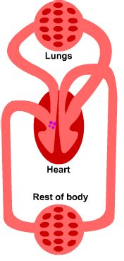 figure 8 of blood flow picture 6
