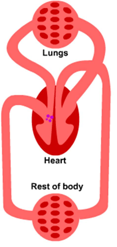 figure 8 of blood flow picture 4