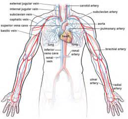 upper extremity of blood circulation picture 5