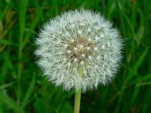 a dandelion picture 9