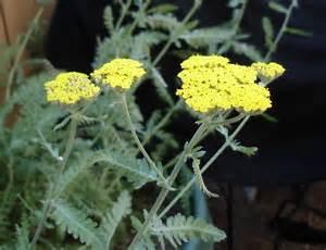 yellow yarrow picture 17