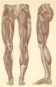 leg muscle illustration picture 11