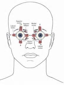 eye muscle control picture 5