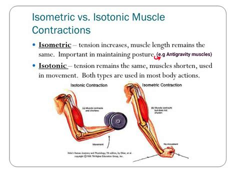 and isotonic muscle contraction picture 1