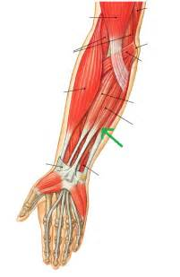 flexor carpi radilis stretches what muscle picture 1