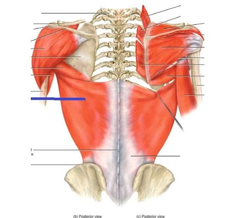 gluteus medius muscle picture 5
