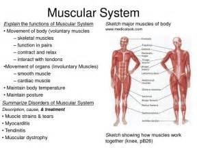 how the muscle system works picture 10