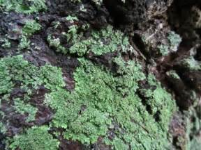 lichen planus fungi picture 7