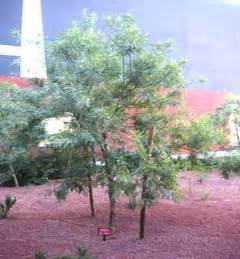 kidneywood tree arizona/where to buy picture 5