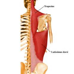 latissimus muscle picture 7