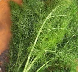 what is fennel picture 15