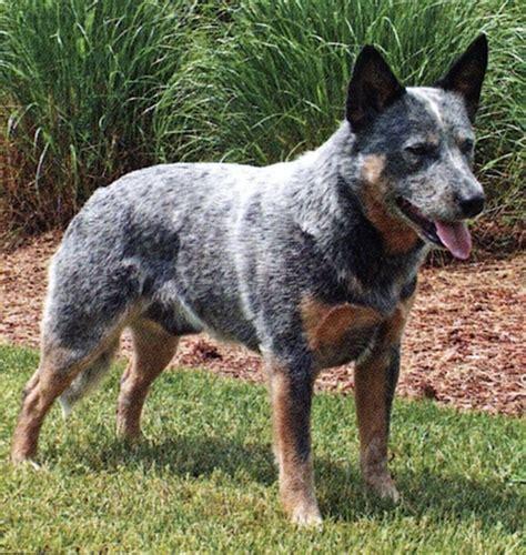 austrailian cattle dog diet picture 17