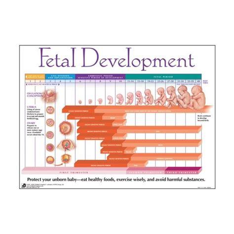 fetal development hair growth picture 15