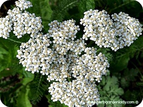 white yarrow flower essence canada picture 13
