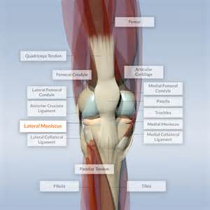 anatomy of a knee joint pictures and labels picture 10