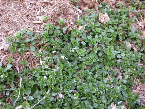 chickweed leaf picture 5