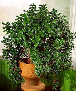 plantain tree care picture 3