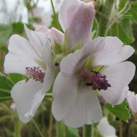 marshmallow (althaea officinalis) tea what stores in delaware picture 3