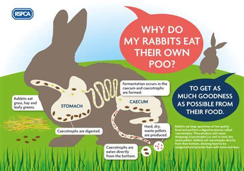 rabbit digestion noises picture 3