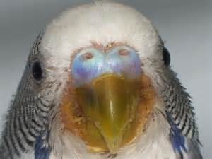 bleeding under skin budgie picture 1