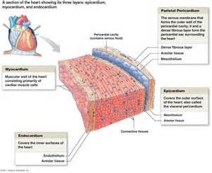 cardiac muscle is found in the wall of picture 22