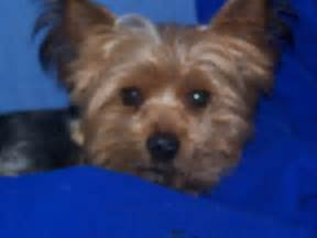 10 yr old yorkie has eng liver picture 6