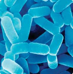 high production of lactobacillus as a probiotic picture 13