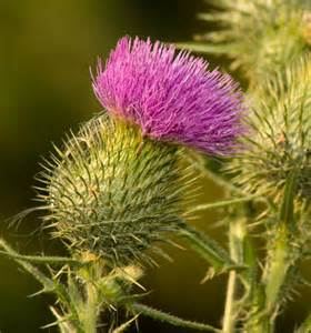 milk thistle liver picture 2