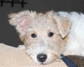 course hair in terrier picture 2