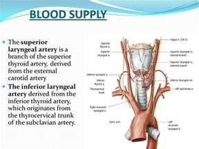 m on thyroid with blood supply picture 7