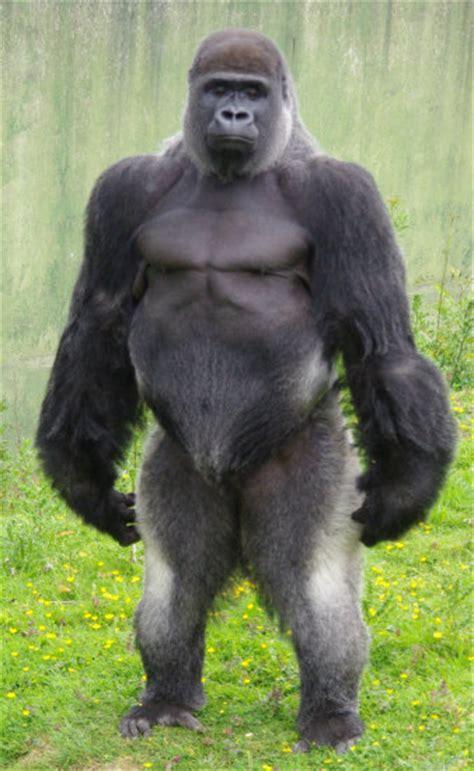 gorillas penis picture 1