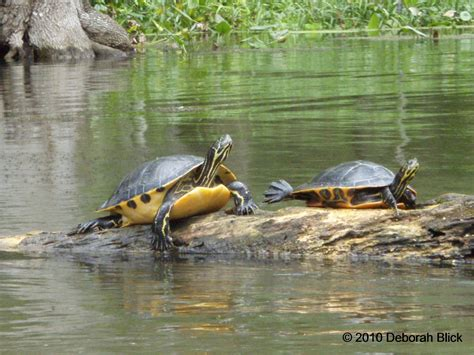 diet of the river cooter turtles picture 3