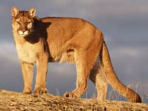 mountain lions diet picture 9