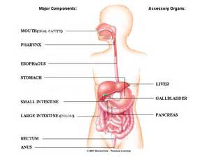 diagrams of chemical digestion picture 10