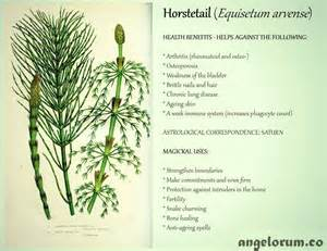 horsetail good for the health picture 6
