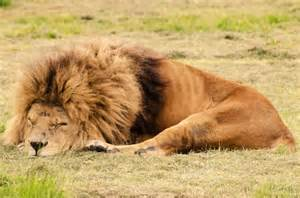 a lion sleeping picture 2