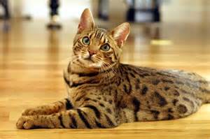 bengal cats information on diet picture 6