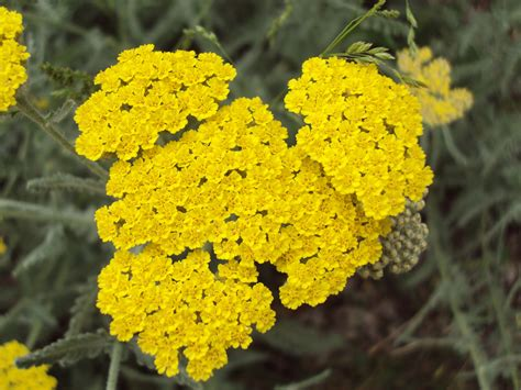 yellow yarrow picture 15