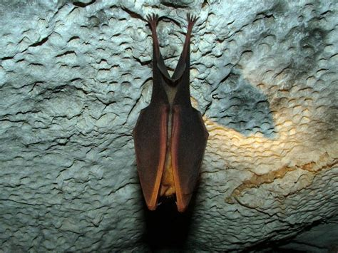 pictures of bats sleeping picture 10