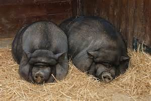 factors affecting show pigs skin picture 7