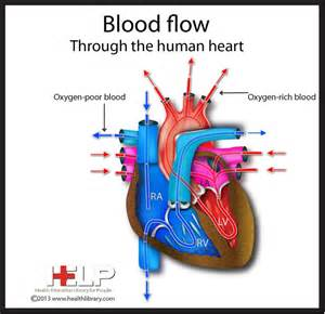 picture blood flow heart picture 5