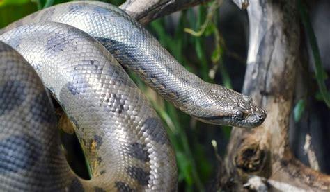 anaconda diet picture 6