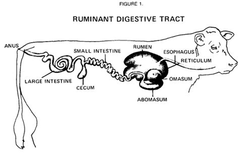 compare and contrast pig gastrointestinal system picture 13