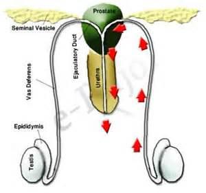 female prostate picture 5