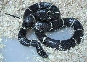 aging your king snake picture 13