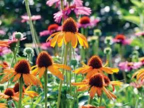 echinacea varieties picture 1
