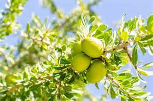 argan tree fruit picture 6