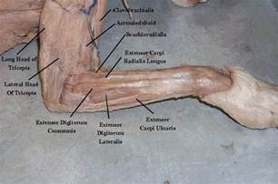 cat muscle anatomy picture 9